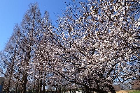 2013-03-21 川越水上公園桜 021
