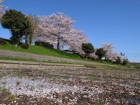 2013-04-04 入間川沿いの桜 008
