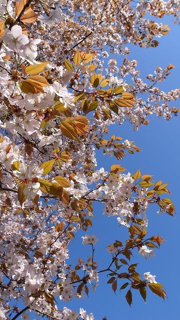 2013-04-04 川越水上公園 桜 032