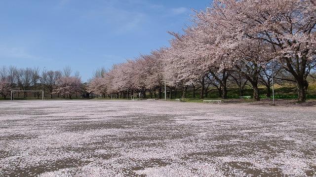2013-04-04 川越水上公園 桜 026
