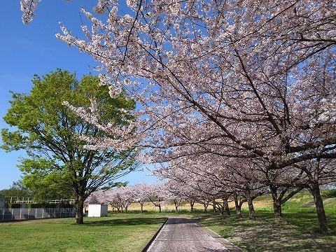 2013-04-04 川越水上公園 桜 016