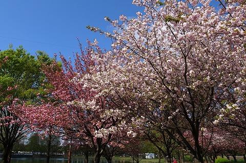2013-04-11 川越水上公園八重桜 005