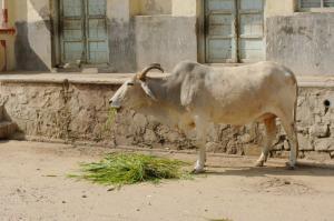 プシュカル-路地の牛