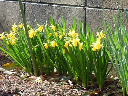 花壇スイセン小花2011年3月