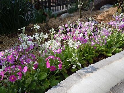 花壇さくら草2011年3月