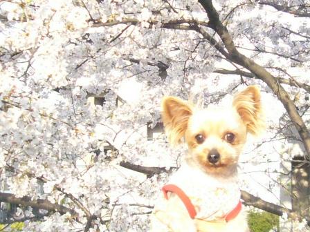 桜とシャロン