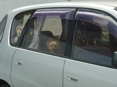 車から覗くラピ小