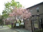 奏楽堂の桜