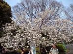 なごりの桜その1