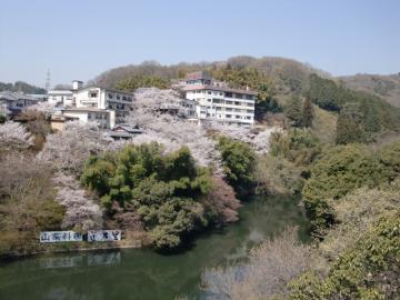 大門池 桜