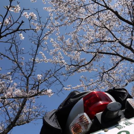法勝寺の桜1
