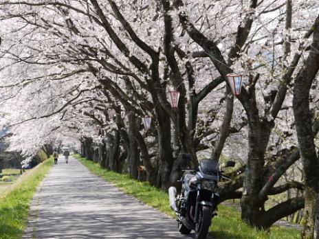 法勝寺の桜3