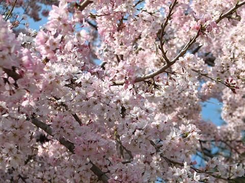 五島美術館の桜 028