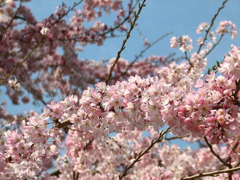五島美術館の桜 027
