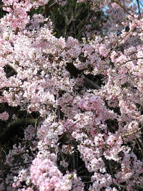 五島美術館の桜 010