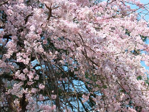 五島美術館の桜 001