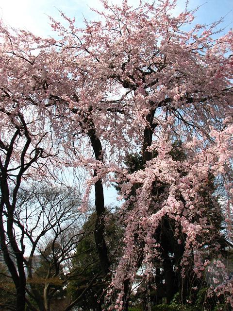 五島美術館の桜 009