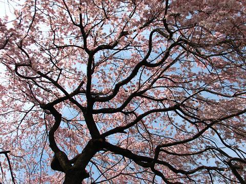 五島美術館の桜 018