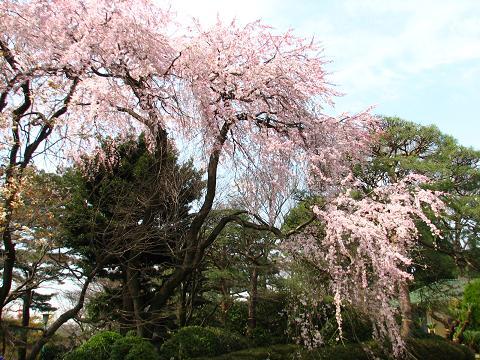 五島美術館の桜 015