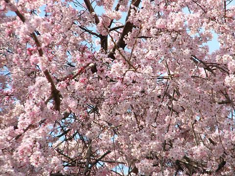 五島美術館の桜 017