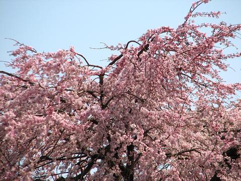 五島美術館の桜 035