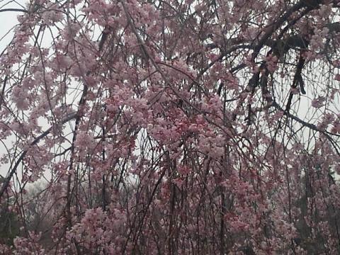 井の頭の桜 003