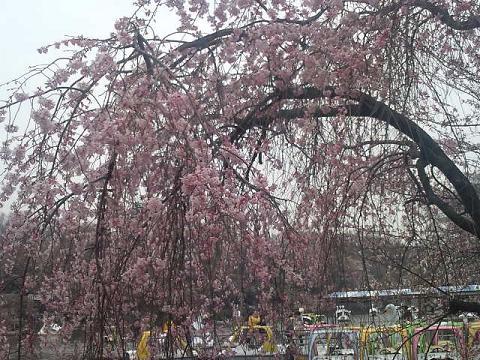 井の頭の桜 002