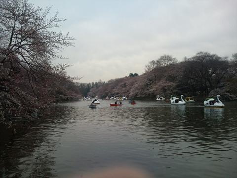 井の頭の桜 001