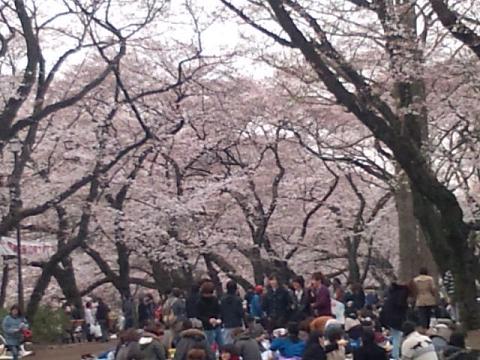 井の頭の桜 005