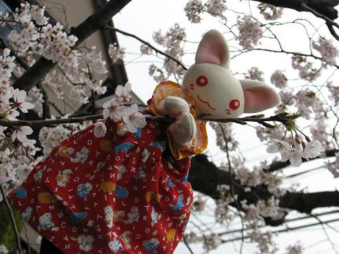 桜にゃあこ 051