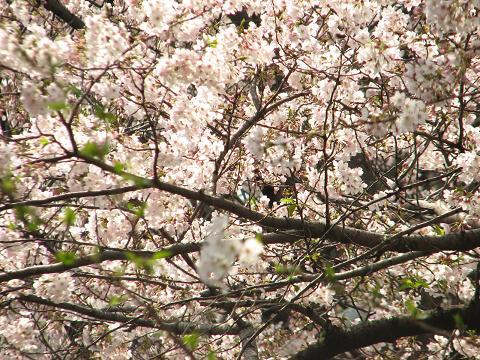桜にゃあこ巣鴨へ行く 009