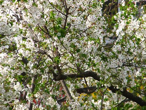 桜にゃあこ巣鴨へ行く 038