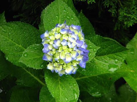 庭の紫陽花 010