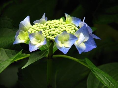 庭の紫陽花 023