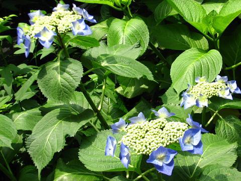 庭の紫陽花 018