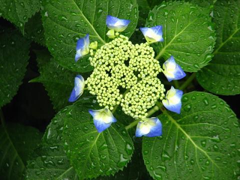 庭の紫陽花 014