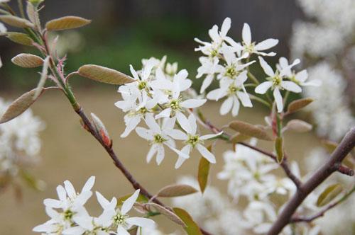 ジューンベリー花