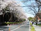 龍岡門桜2013その2