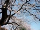 龍岡門桜2013その5