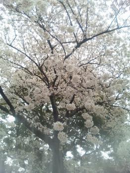 染井吉野発祥の地での桜の画像