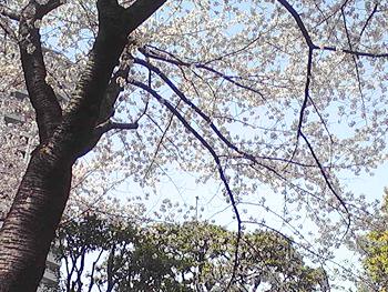 桜の画像その1