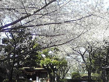 桜の画像その2