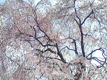 桜の画像その4