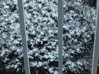 向かいの家の木に積もった雪です。
