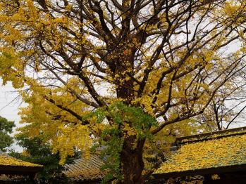 季節の変わり目で黄葉が広がっています。