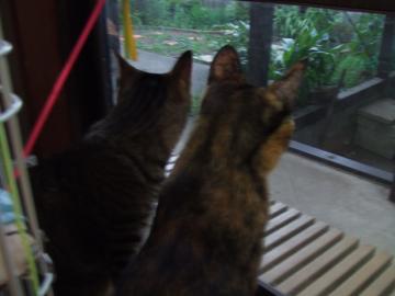 猫部屋から心配そうに見るミオ茶コ16-5274_幅350