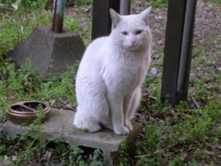 白猫 007
