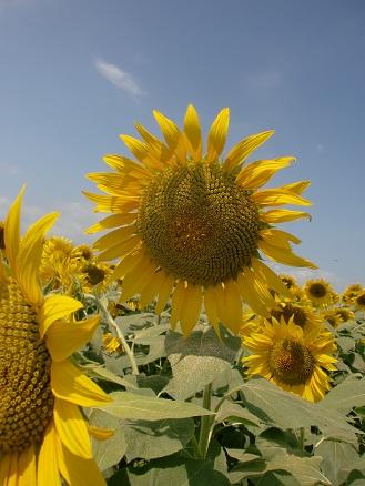 Sun-fiowaer\(^o^)/