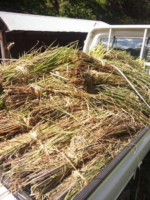 トラックに積んだ稲