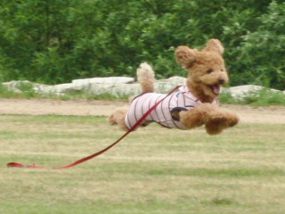 飛行犬はなちゃん